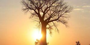baobab-arbol-africano