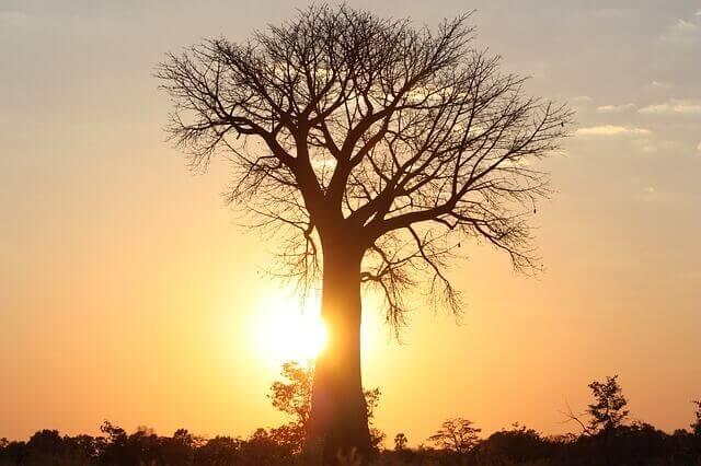 Baobab: conoce al superalimento de moda y oro para tu piel